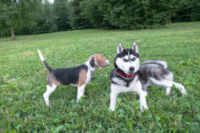 beagle puppy playing with a dog breed husky